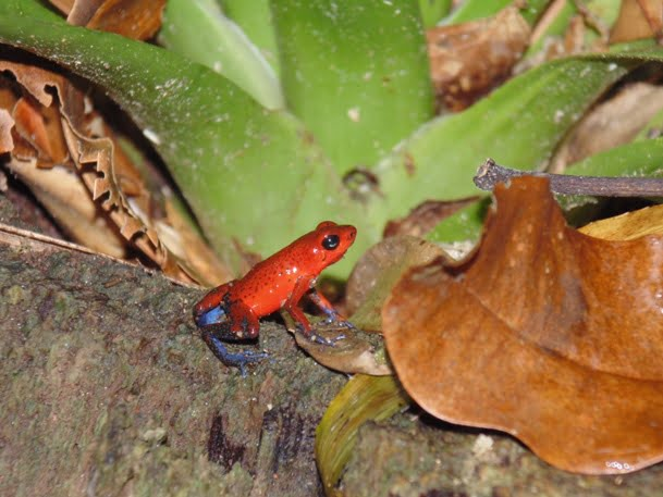 red frog tortuguero